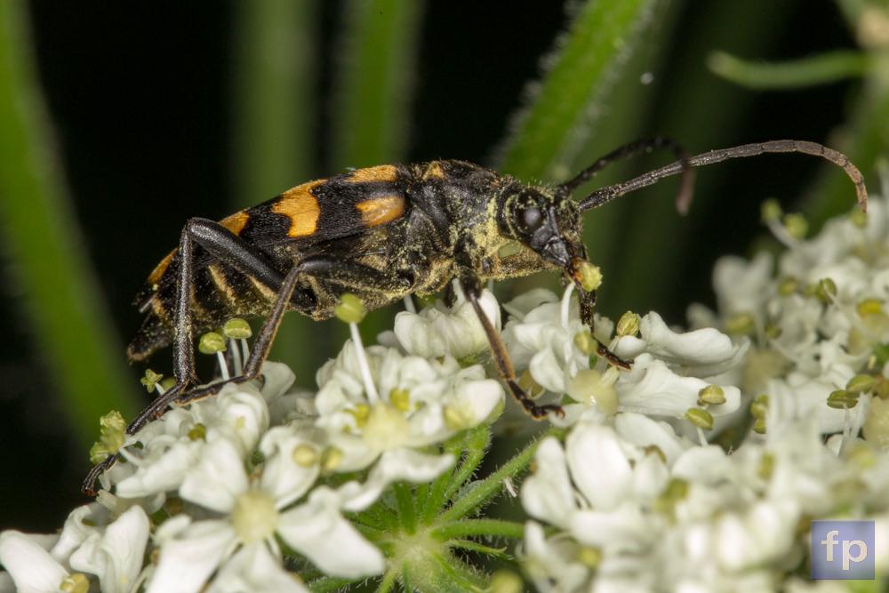 Käfer mit Blütenstaub bedeckt auf der Schafgarbe