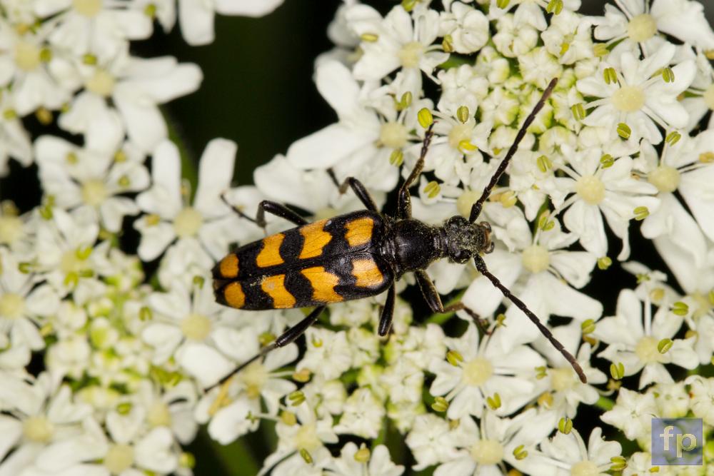 Käfer  mit Blütenstaub auf der Schafgarbe